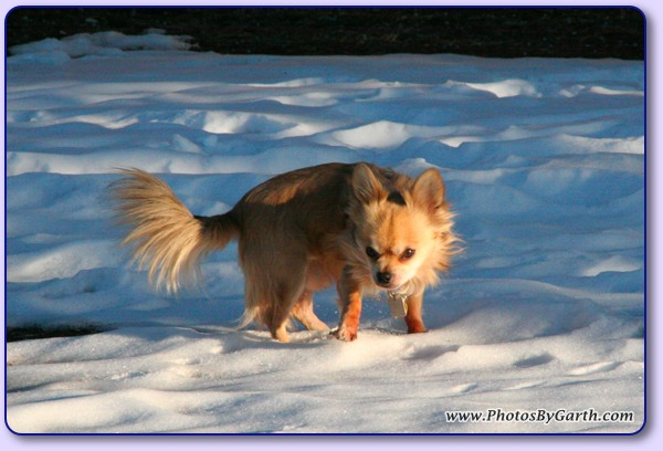 Long-haired Chihuahua in Snow 2