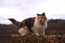 Pixie - our Calico barn cat