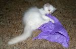 White Cat Playing with Purple Tissue