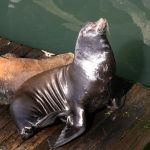Sea Lion Sunning and Scratching