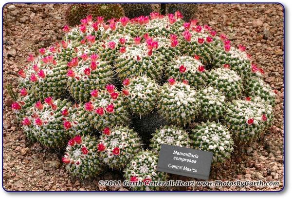 Mammillaria compressa flowers