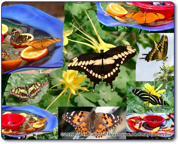 Butterfly montage
