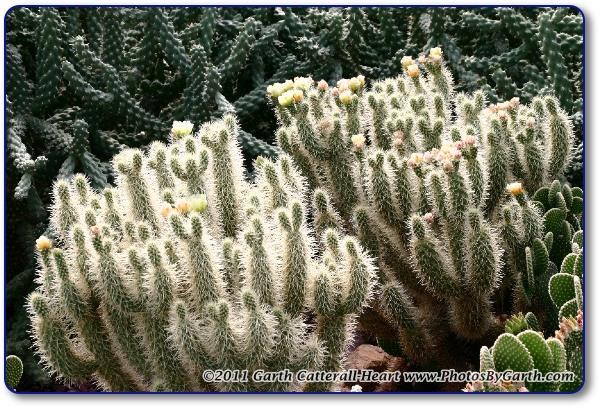 chollo cactus or cholla cactus