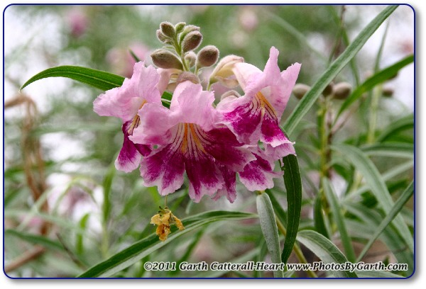 Chilopsis or desert willow flower