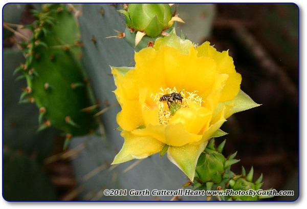 Prickly Pear Cactus bloom with bee