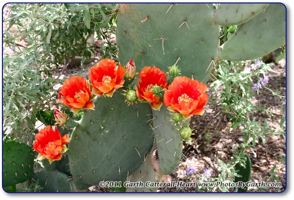 orange colored Prickly Pear cactus blooms