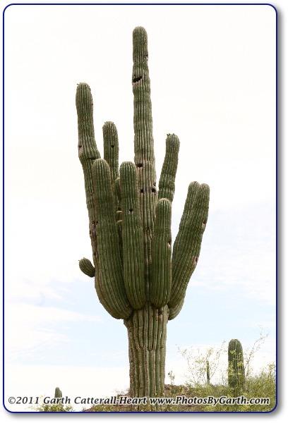 Cardon cactus or Cordon cactus