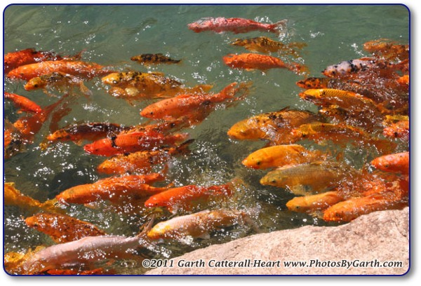 Hundreds of very large and healthy Koi