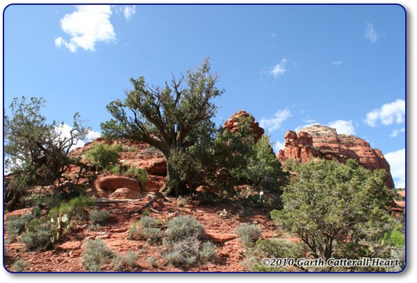 A Juniper tree along the trail in Boynton Canyon