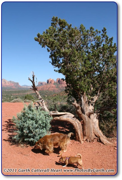 Pinyon Pine Tree and dogs