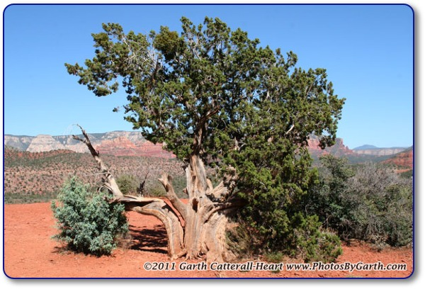 Pinion, Pinon or Piñon Pine Tree