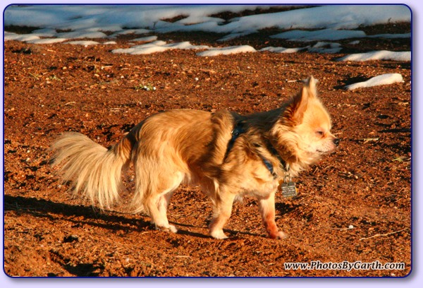 Long-haired Chihuahua in Sun